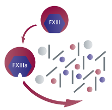FXIII Role in Coagulation